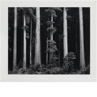 northern california coast redwoods [1962] by ansel adams